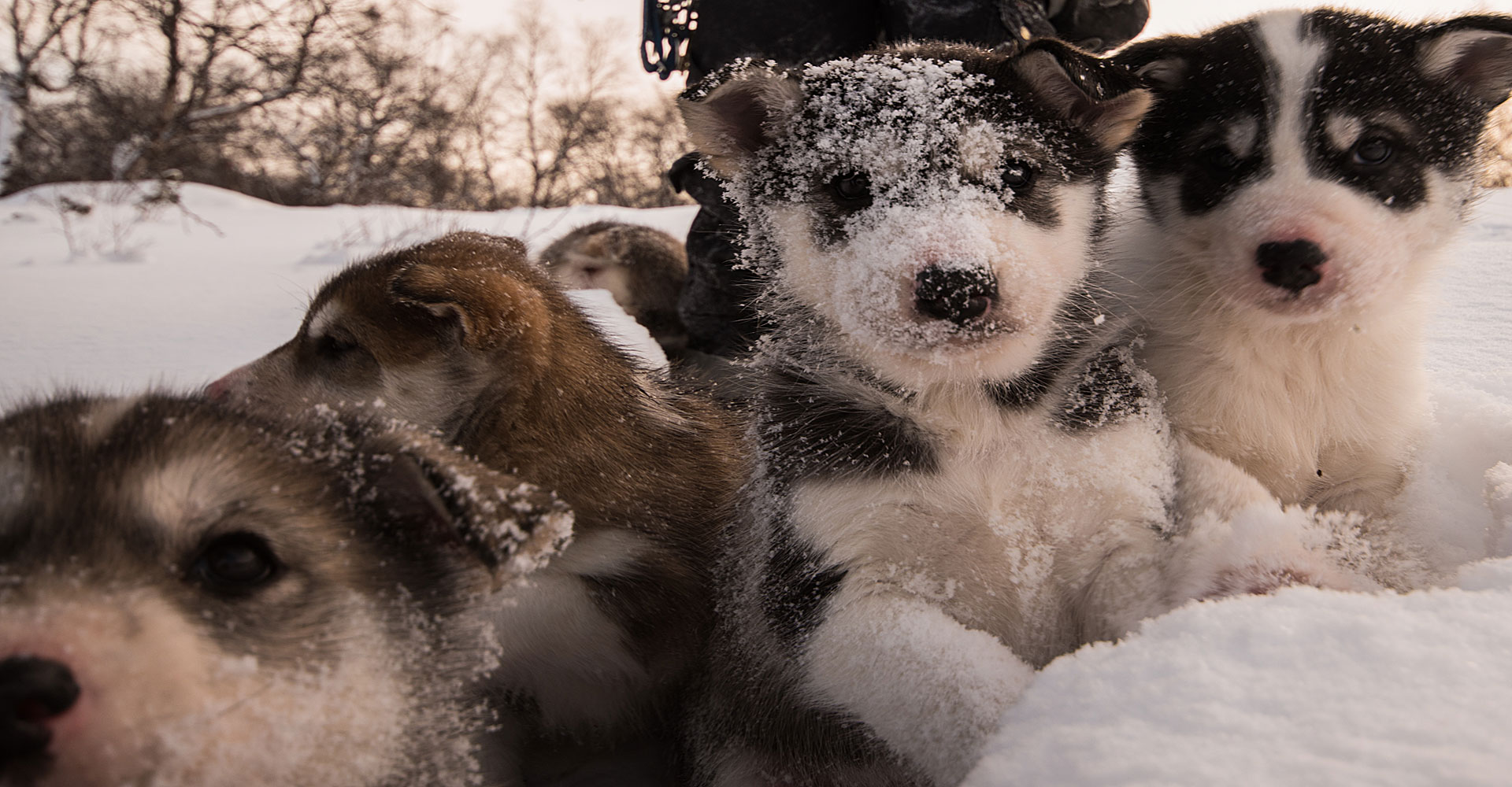 Luxury-Holidays-Kirkenes-Snow-Hotel-puppies
